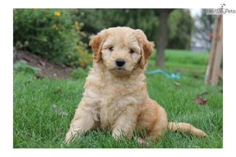 mini goldendoodles lancaster dogs and puppies for sale and adoption oodle marketplace