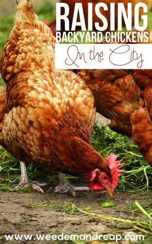 how to raise backyard chickens in the city get around city