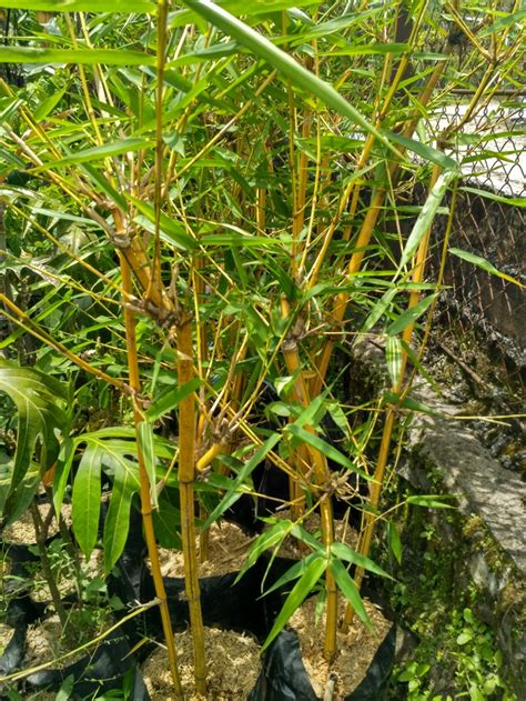 jual tanaman hias bambu kuning asli  lapak selecta farm
