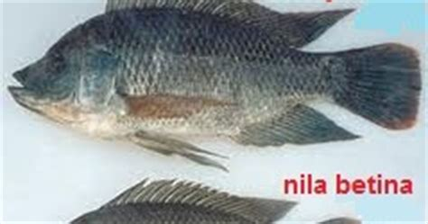 Batu Akik Gambar Berbentuk Ikan aneka cara dan info cara membedakan ikan nila jantan dan