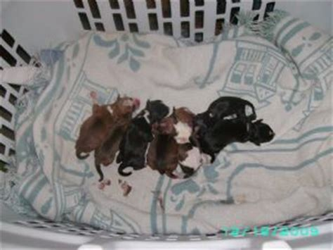 rat terrier puppies for sale rat terrier puppies in south carolina