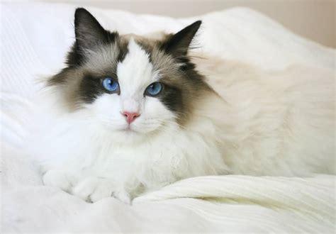 a ragdoll to 65 sweet ragdoll cat photos golfian