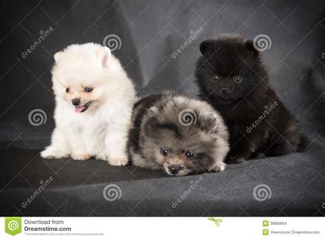 gray pomeranian puppies pomeranian puppy stock photo image 39890664