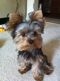 yorkie for sale ottawa healthy and yorkie puppies available posot class