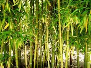 bambou achat
