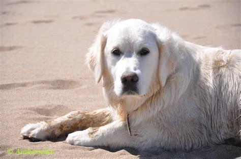 golden retriever puppies peoria il chiot golden retriever ile de dogs our friends photo