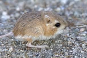 Desert rat kangaroo a z animals