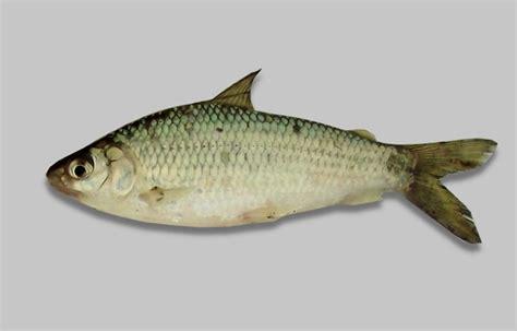 Reisha Biru 4 In 1 biru um peixe da lagoa dos patos pesca na lagoa