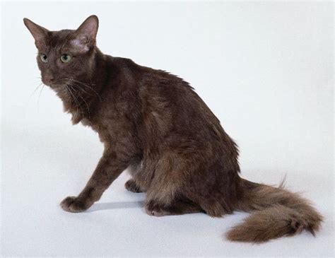 Javanese cat   Rare Breeds   Pinterest