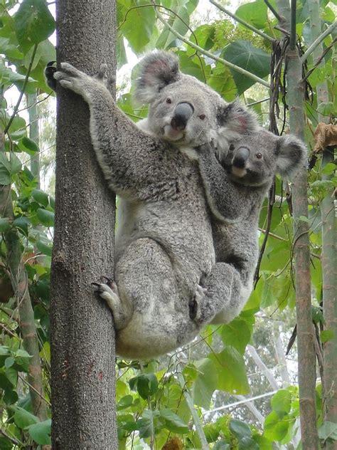 koala hängematte koala bears vegan ha tea n danger