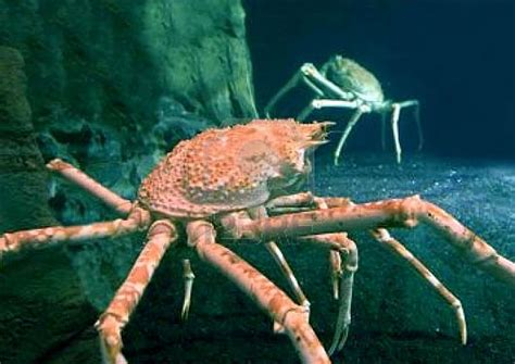 arctic animal of the day 28 the king crab grigor