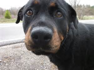 black lab rottweiler mix puppies rottweiler and dachshund mix breeds picture