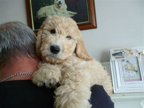 goldendoodle puppy uk goldendoodle puppy lowestoft suffolk pets4homes