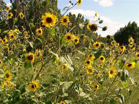 nyack backyard growing black oil sunflowers