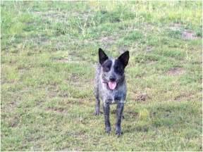 Australian stumpy tail cattle dog top dog directory
