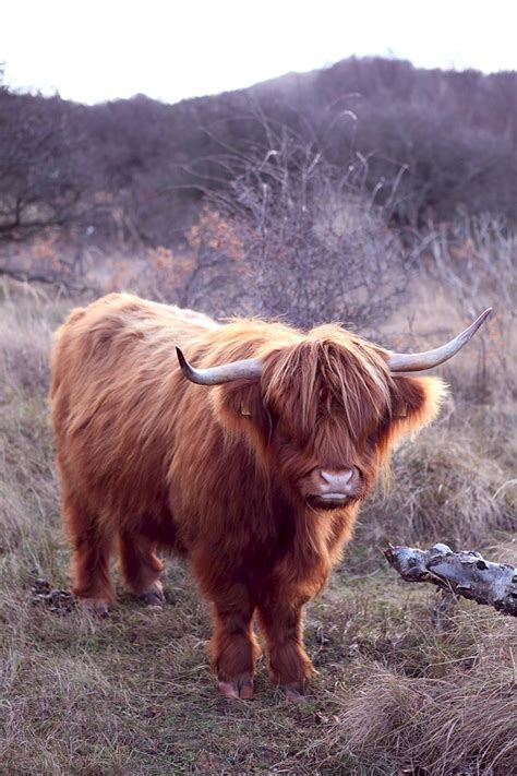 Baby Scots Platinum Mb 56 file schotse hooglander highland cow jpg wikimedia commons