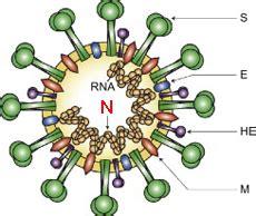n protein coronavirus nucleocapsid