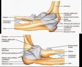 human anatomy and physiology diagrams ulnar collateral