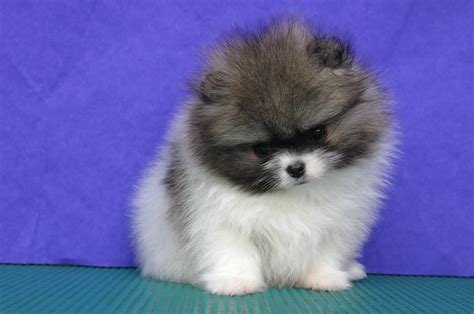 pics of a pomeranian puppy pomeranian puppies pictures photos pics