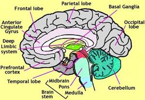 Different parts of the brain are use for different actions
