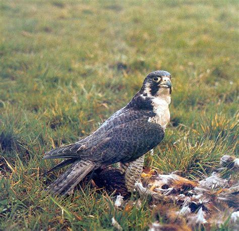 falco pellegrino alimentazione il falco pellegrino 232 presente in eurasia