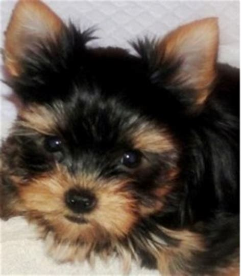 yorkies cheap healthy and bulldog puppies for adoption miami fl asnclassifieds