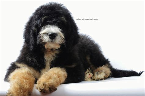 oodles dogs miniature bernedoodle puppies for sale breeds picture