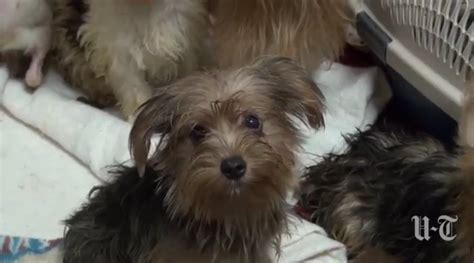 poway yorkies 80 terrier and terrier mixes rescued from filled house in poway