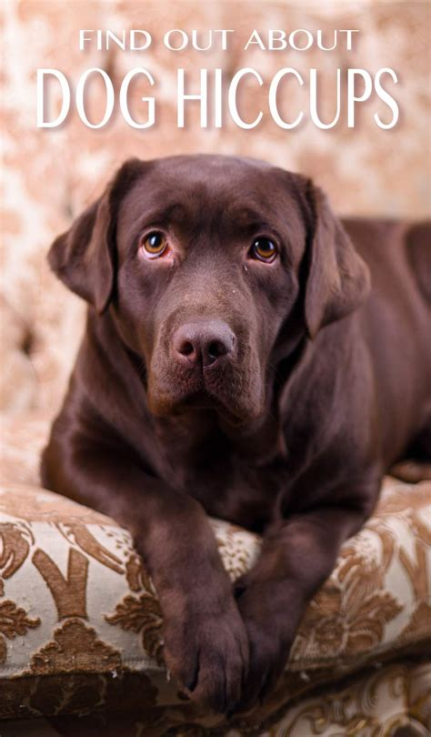 can dogs hiccups hiccups and how to get rid of them the labrador site
