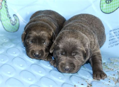 puppies at 2 weeks silver labs for sale breeder of silver labrador retrievers a k c certified