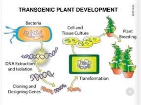 presentation insect resistant transgenic crops ahmad madni