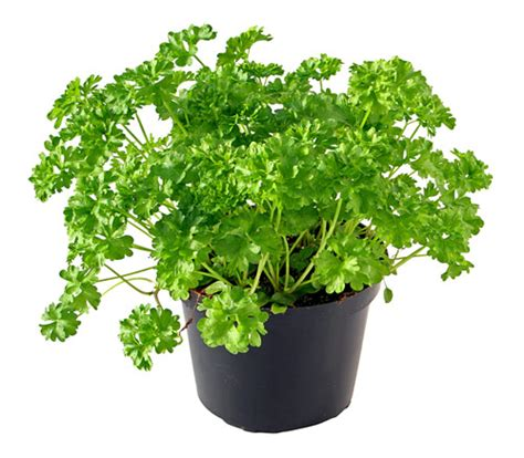 Herb Pot how to grow parsley herb gardening guide