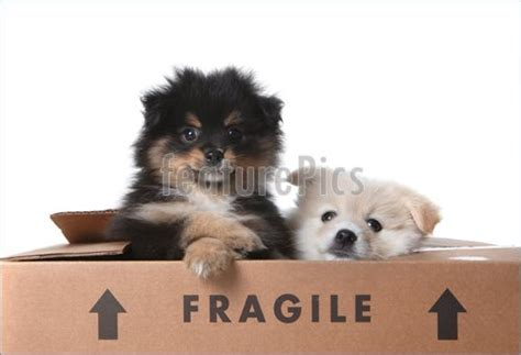 pomeranian puppies for sale pittsburgh pa pomeranian mix puppies for sale in pa