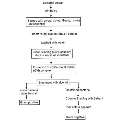 gram staining procedure in flowchart gram staining method microbiology microbiology