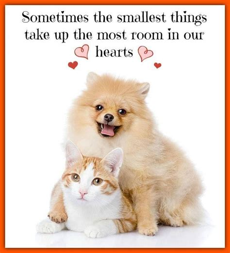 pomeranian cat 63 best pomeranian memes images on pomeranian memes cubs and puppies