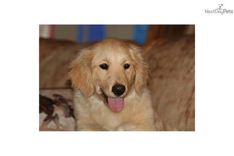 preloved golden retriever meet a golden retriever puppy for sale for 1 500 gorgeous golden