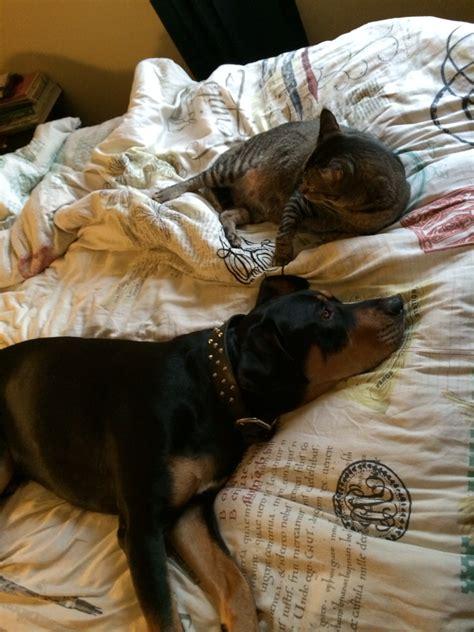 rottweiler x great dane 3 months after adopting my rottweiler x great dane he and my cat are finally friends