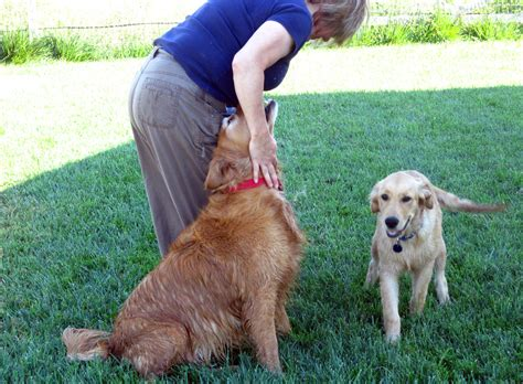puppy play dates how is it gardens for goldens