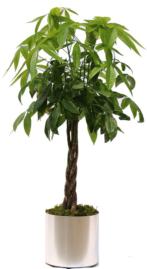 Tree In Planter by Coverings Another Way To Customize