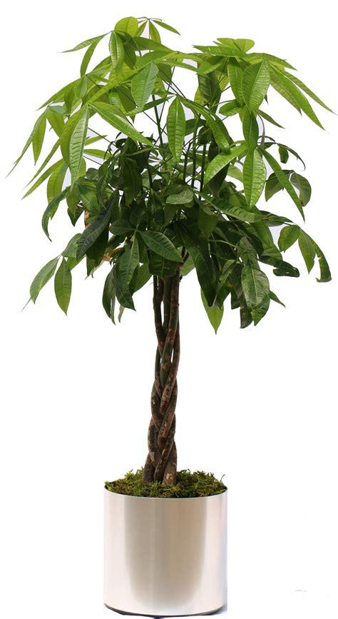 Tree Plant - money tree hawaiian tropical plant sales