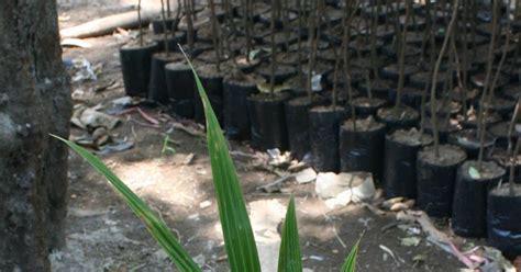 Bibit Sengon Nganjuk bibit kelapa jual bibit kelapa di kediri