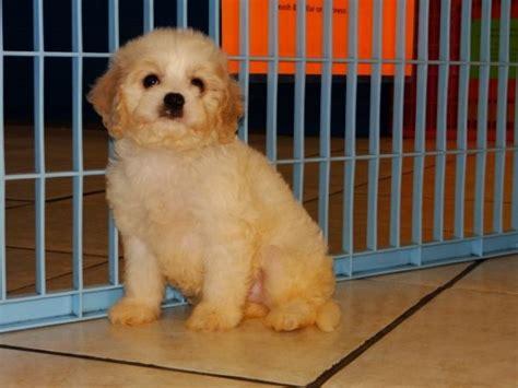cavapoo puppies for sale in ga unique cavapoo puppies for sale in atlanta ga at atlanta columbus johns
