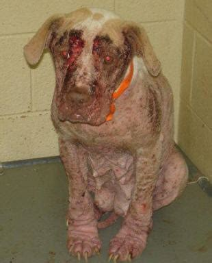 can humans get mange from dogs demodex mange in humans symptoms treatment causes of human mange car interior design