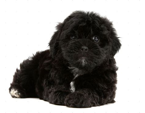 shih tzu and poodle black maltese shihtzu mix photo happy heaven