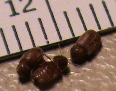 tiny black bugs in kitchen countertop tiny shelled bugs on kitchen countertops store