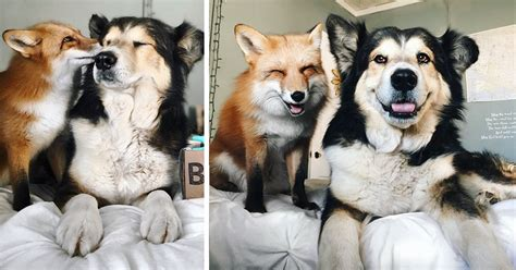 best friend pets pet fox becomes best friends with a bored panda