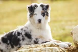 le de berger top 10 des races de chien de berger guide du chien