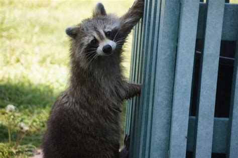how to get rid of a raccoon in your backyard raccoons how to identify and get rid of raccoons in the