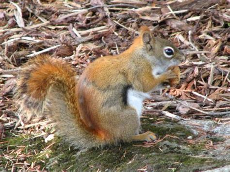 what do west virginians call american red squirrels
