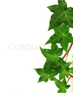 Frame For Climbing Plants - border made of green ivy isolated on white background stock photo colourbox
